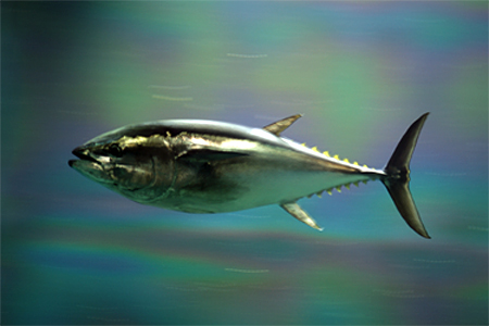 Blue Fin Tuna, courtesy of Wikimedia Commons